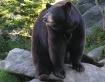 Ursus americanus,...