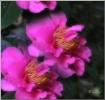 Dreamy Camellia