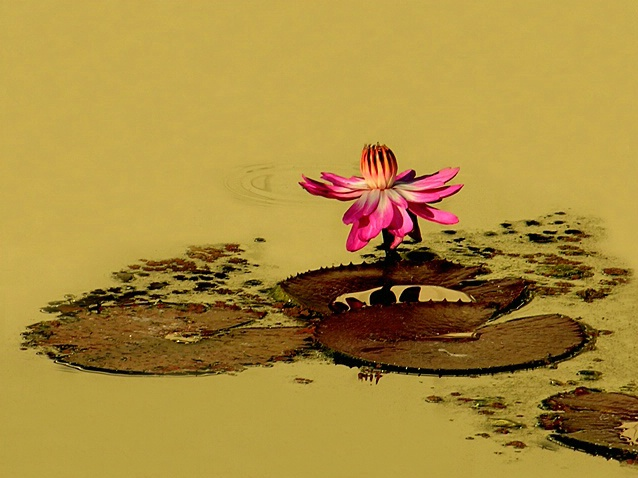 Golden Pond Lily