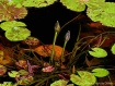 Lily Habitat