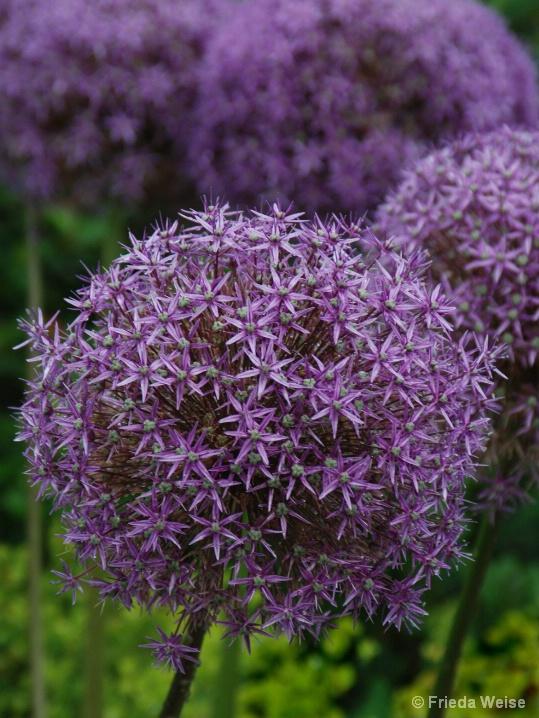 Purple Balls - ID: 6374627 © Frieda Weise