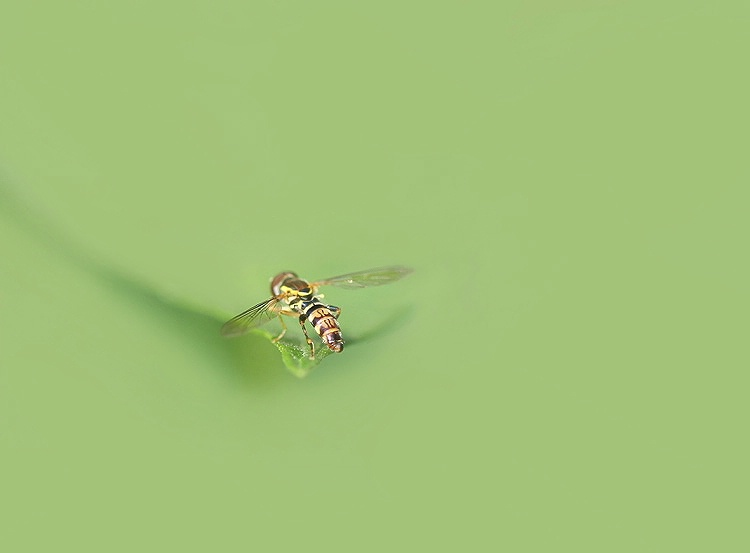 Hoverfly Art
