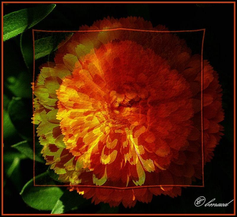 Double Marigold