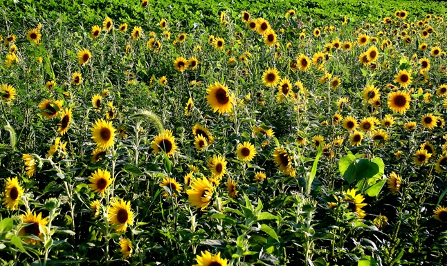 Sea of Sunflower - ID: 7354899 © Farrin Manian