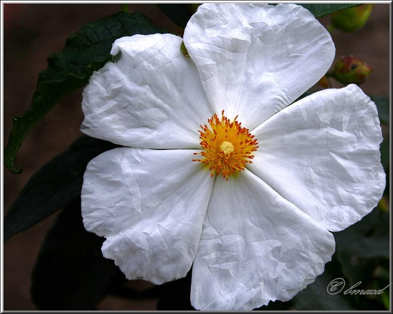 Paper White Anemone