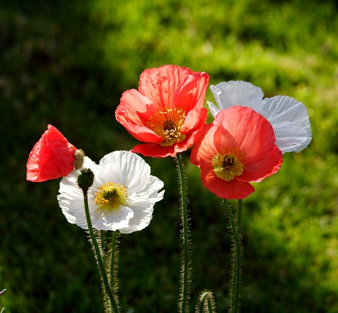 Proud Poppies - ID: 7363220 © Farrin Manian