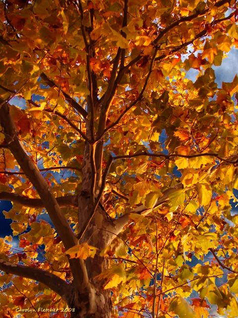 Fancy Fall Foliage - ID: 7554193 © Carolyn  M. Fletcher