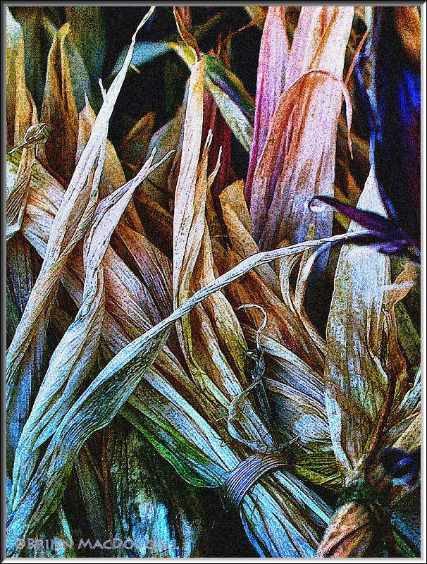 Corn Husks