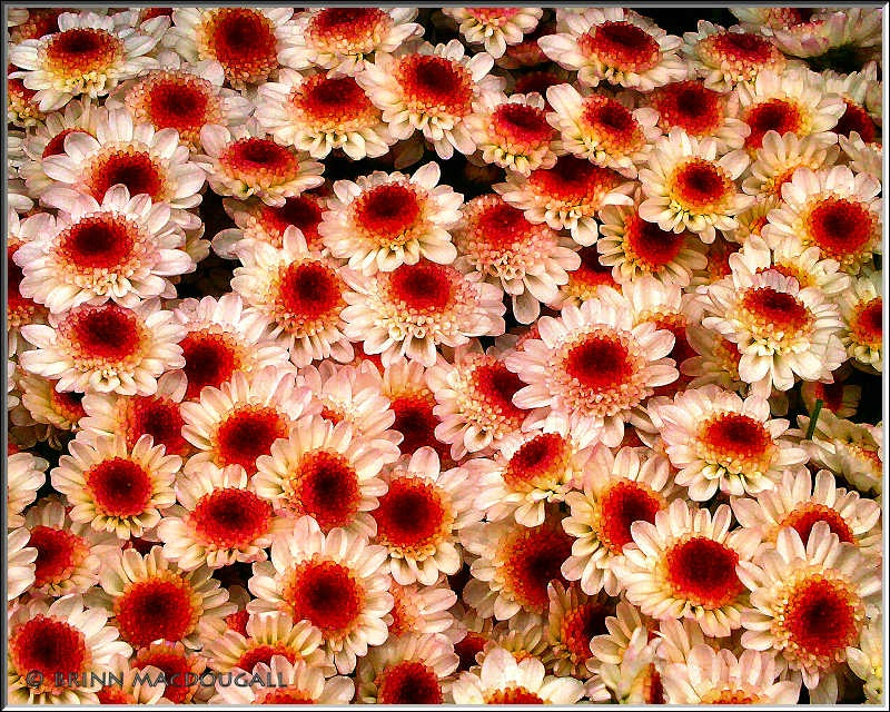 Bunches of Mums