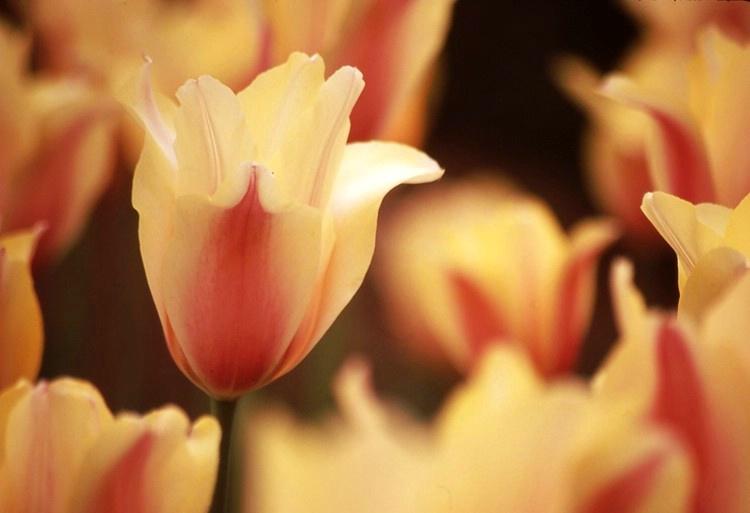 Spring Tulip's