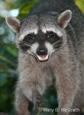 Raccoon face - ID: 9613208 © Mary B. McGrath