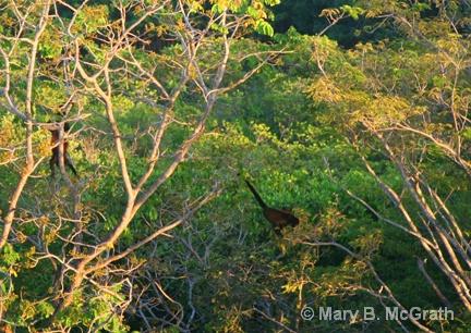 Howler Monkeys in trees - ID: 9613209 © Mary B. McGrath