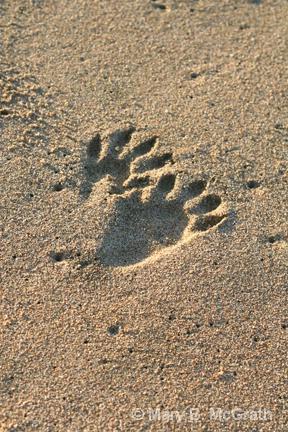 Raccoon tracks - ID: 9613212 © Mary B. McGrath
