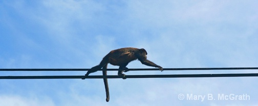 Howler Monkey on the power lines - ID: 9613213 © Mary B. McGrath