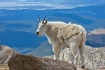 Mountain Goat Vie...