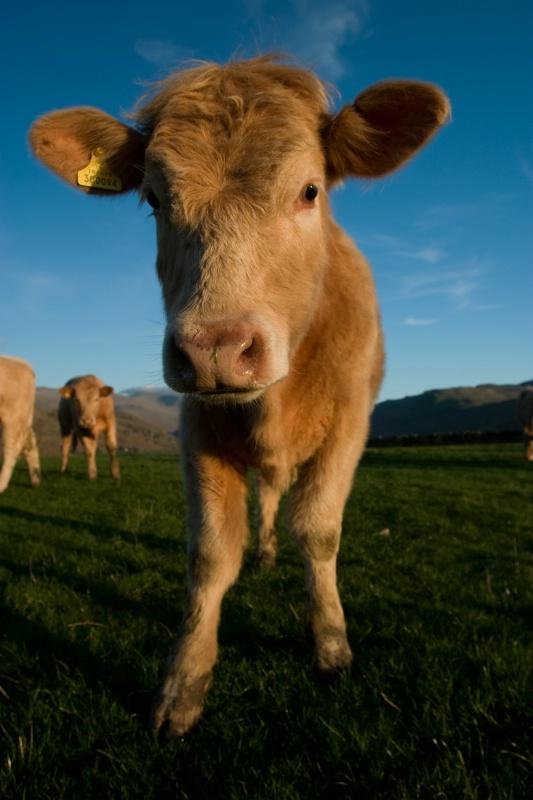 Castlerigg Cow - ID: 11513568 © Jim Miotke