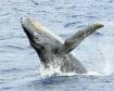 Humpback Whale, M...
