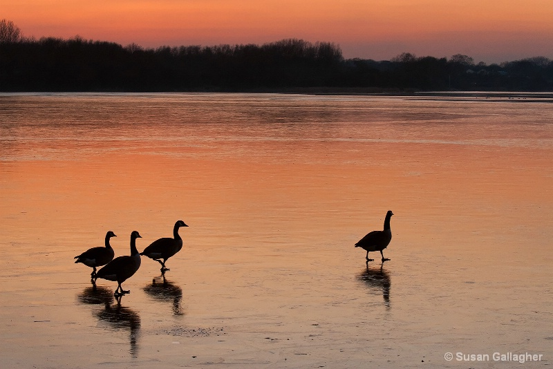 Geese At Dusk - ID: 11647599 © Susan Gallagher