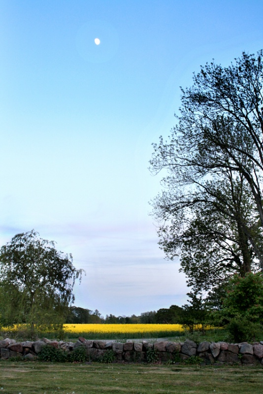 Evening Mood at Yellow Field