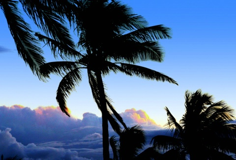 Palms in the wind..Maui.