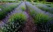 Long Lavender