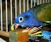 Pionus, Busy Beak...