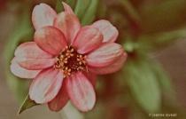 Nostalgic --the Last Blossom