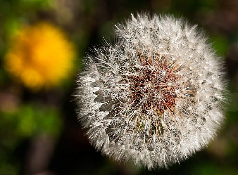 Memories of an Aging Dandelion