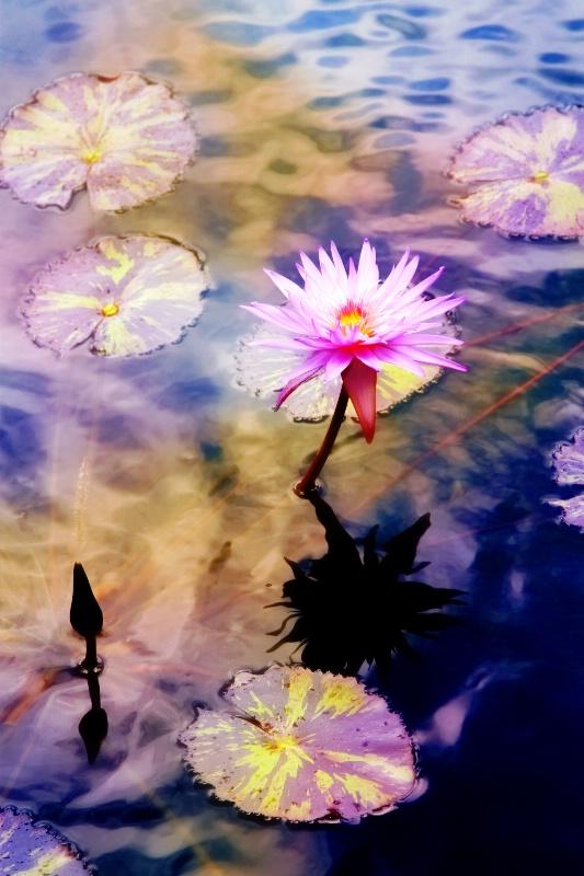 Fantasy Lily