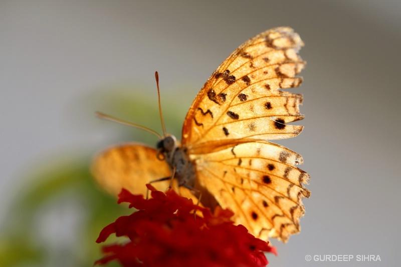 BUTTERFLY - ID: 13566085 © GURDEEP SIHRA