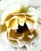 ~Rose~