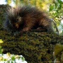 Infant Porcupine