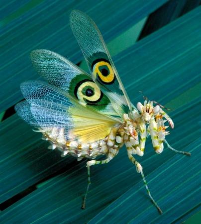 African Flower Mantid