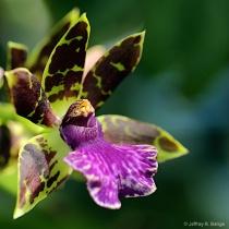 """Vanilla Orchid"""