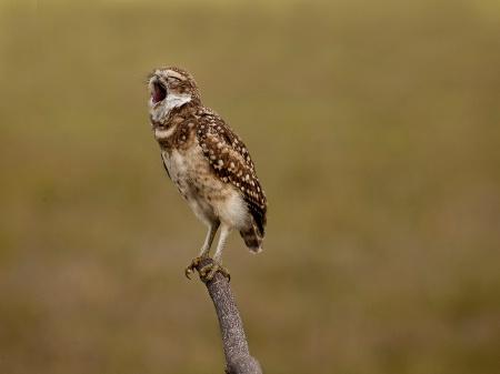 Burrowing Owl Yawn