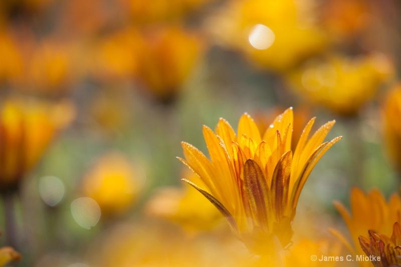 Flowers Aglow - ID: 14562526 © Jim Miotke