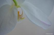 White Orchid Peek a Boo