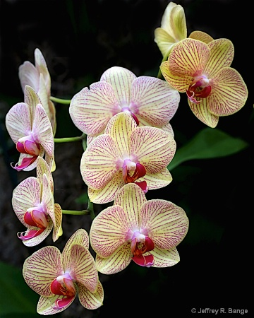 """""""Orchid #11"""""""