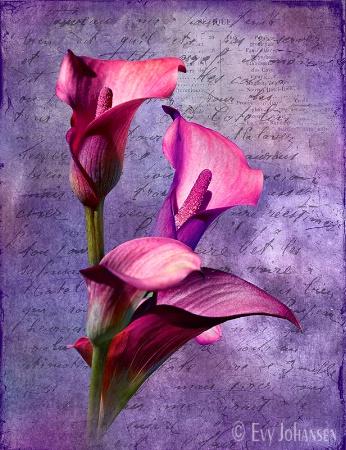 Purple Calla