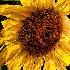 2sunny flower - ID: 15048570 © John S. Fleming