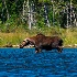2bull moose - ID: 15048755 © John S. Fleming