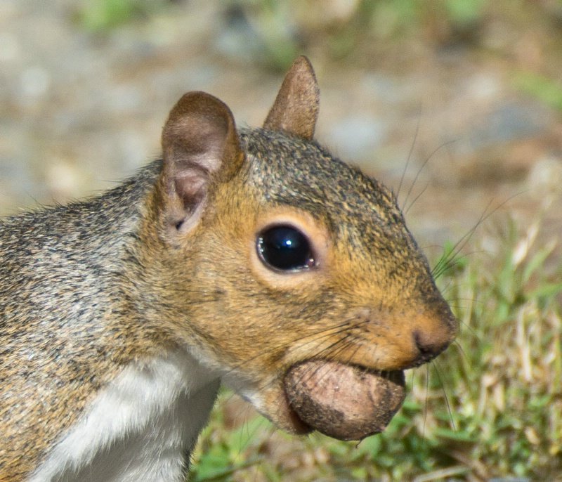 gray squirrel with acorn