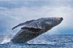 Humback Whale Bre...