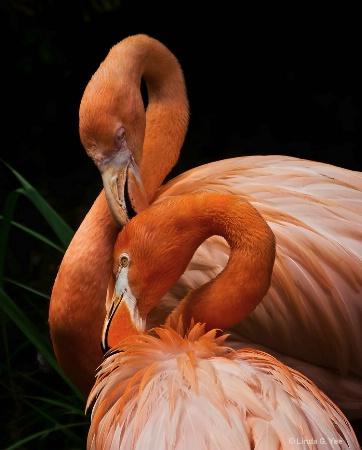 Flamingos Grooming