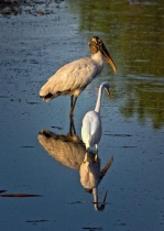 Avian Reflections
