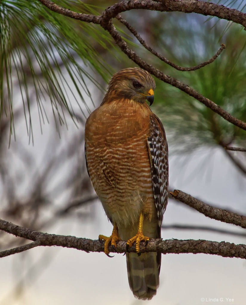 Hawk in a Pine Tree