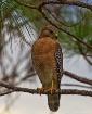 Hawk in a Pine Tr...