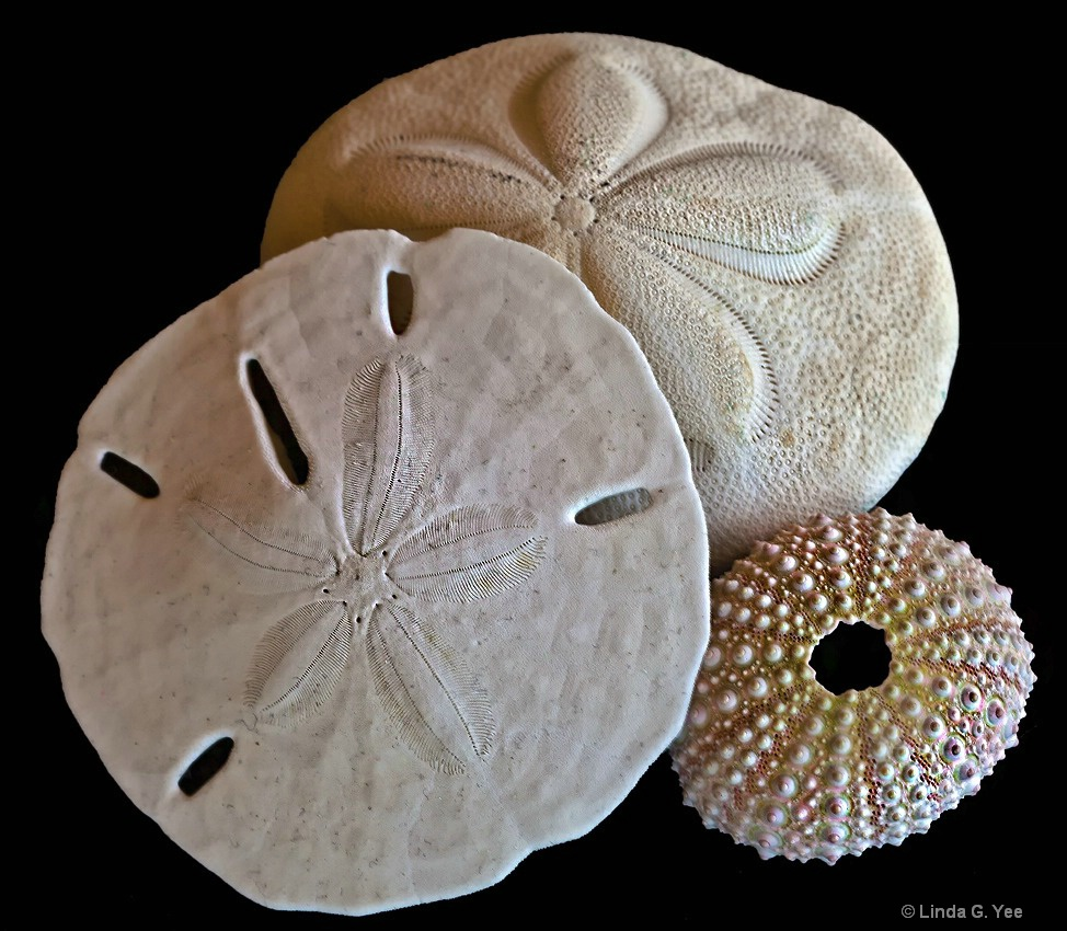 Sand Dollar, Sea Bisquit, and Sea Urchin Shell