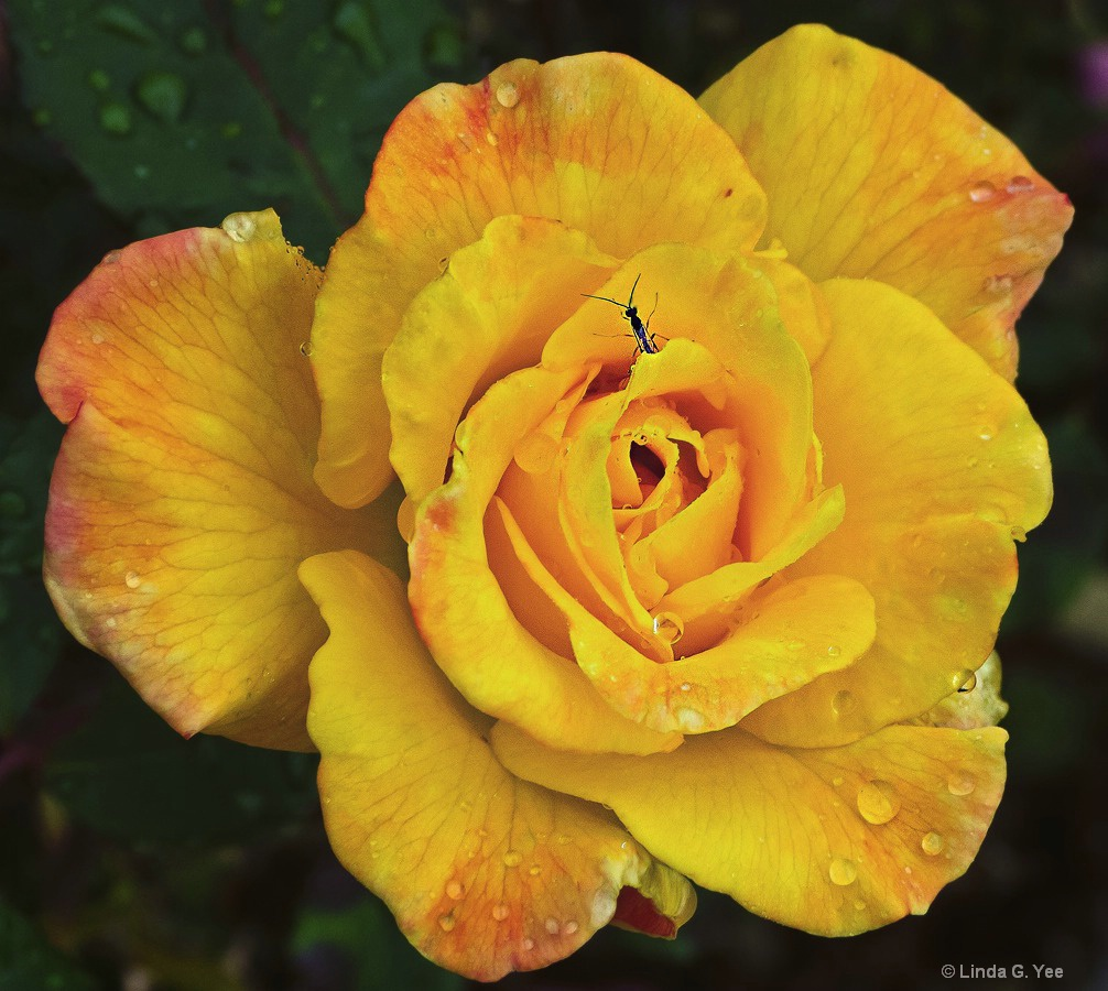 Yellow Rose of Tulsa with Visitor