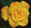 Yellow Rose of Tu...